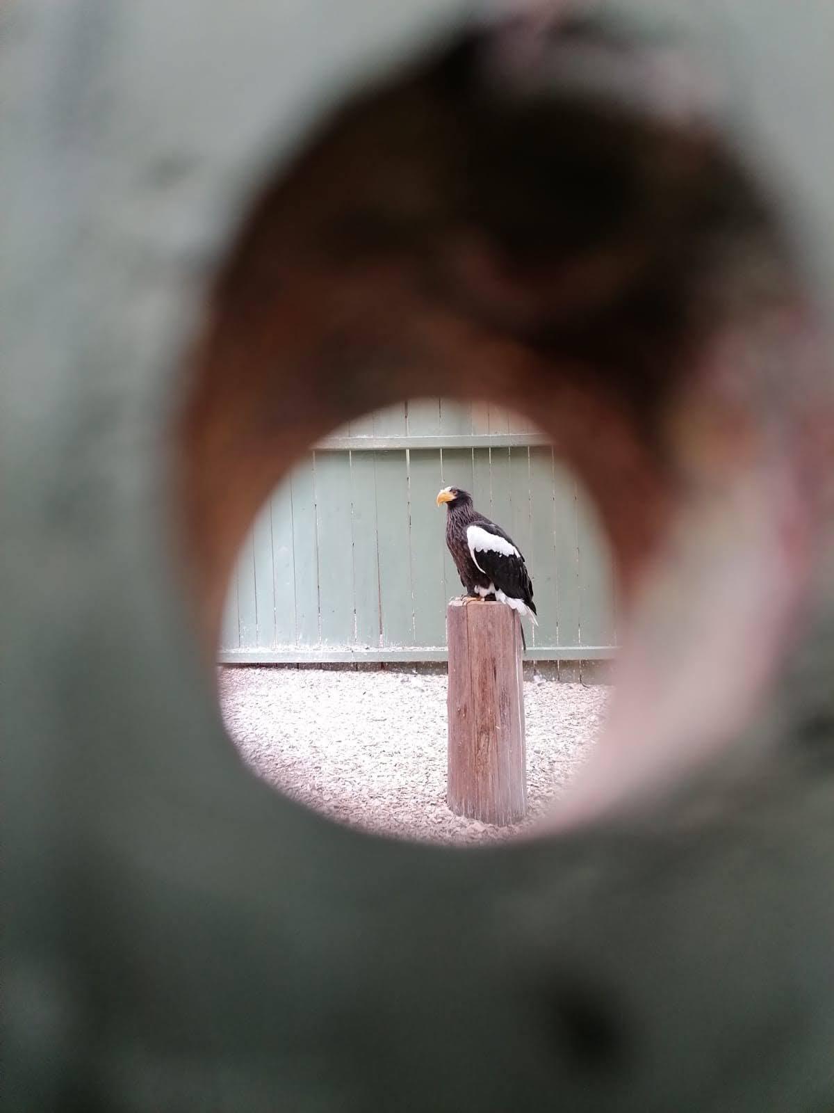 Riesenseeadler-durch-Astloch